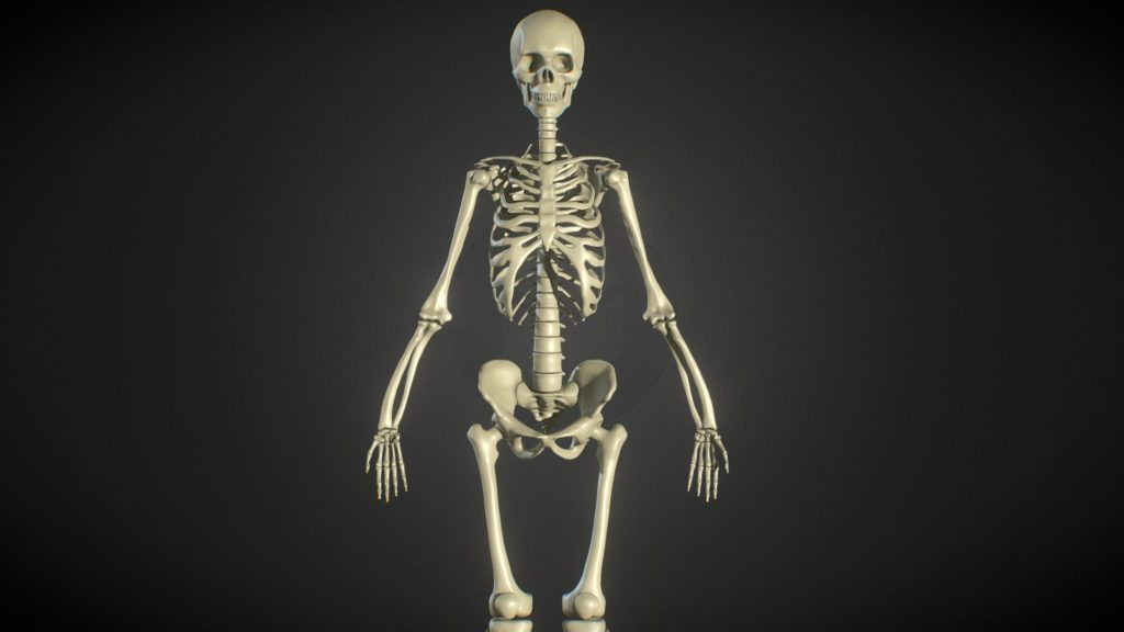 Human Skeleton Standing Up