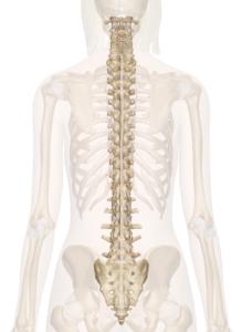 Human Spine Image